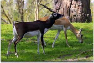 blackbuck-gazelle